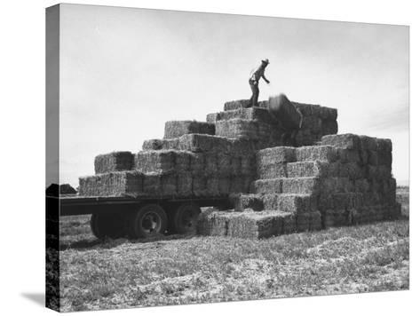 Baled Alfalfa in Large Stacks on Truck and on Ground in Imperial Valley-Hansel Mieth-Stretched Canvas Print