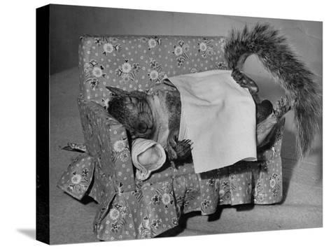 Tommy Tucker the Squirrel Sleeping on a Tiny Couch-Nina Leen-Stretched Canvas Print