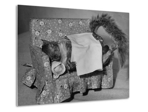Tommy Tucker the Squirrel Sleeping on a Tiny Couch-Nina Leen-Metal Print