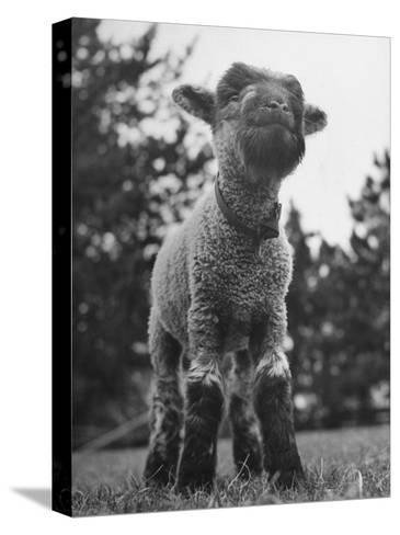 Little Lamb Posing for the Camera-Wallace Kirkland-Stretched Canvas Print