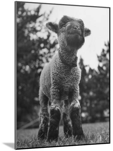 Little Lamb Posing for the Camera-Wallace Kirkland-Mounted Photographic Print