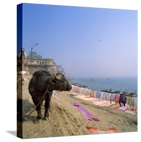 Water Buffalo and Drying Washing on the Banks of the Ganges, Varanasi, Uttar Pradesh State, India-Tony Gervis-Stretched Canvas Print