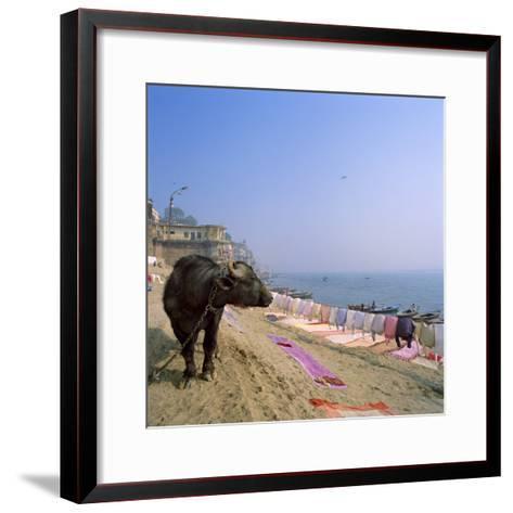 Water Buffalo and Drying Washing on the Banks of the Ganges, Varanasi, Uttar Pradesh State, India-Tony Gervis-Framed Art Print
