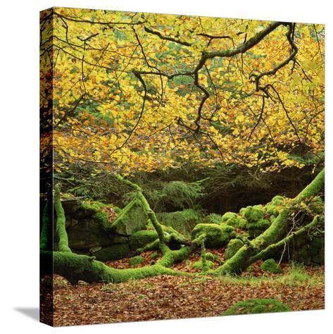 Beech Trees and Fall Foliage, with Lichen on Fallen Branches-Roy Rainford-Stretched Canvas Print