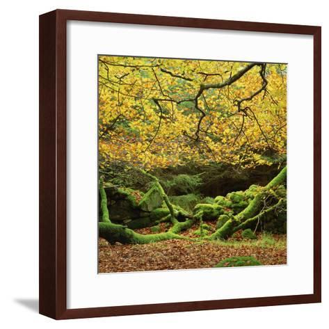 Beech Trees and Fall Foliage, with Lichen on Fallen Branches-Roy Rainford-Framed Art Print