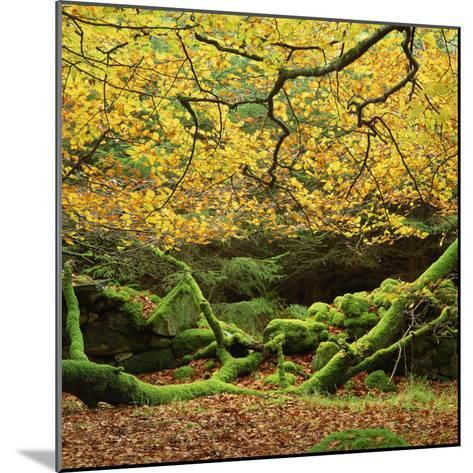 Beech Trees and Fall Foliage, with Lichen on Fallen Branches-Roy Rainford-Mounted Photographic Print