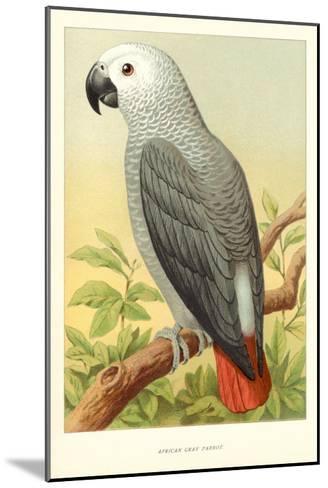 African Grey Parrot--Mounted Art Print