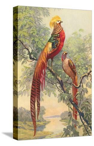 Chinese Golden Pheasant--Stretched Canvas Print