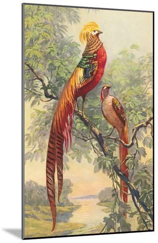 Chinese Golden Pheasant--Mounted Art Print