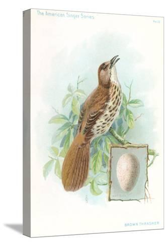 Brown Thrasher, Songbird--Stretched Canvas Print