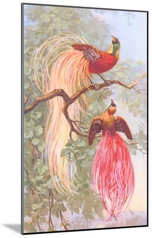 Chinese Golden Pheasants--Mounted Art Print
