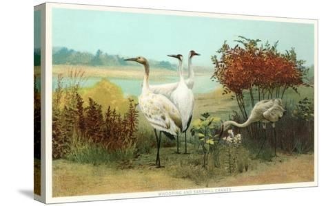 Whooping and Sandhill Cranes--Stretched Canvas Print