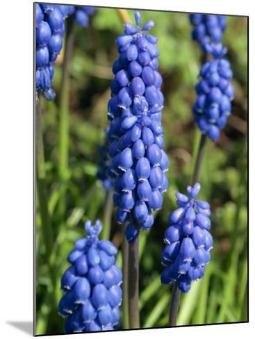 Close-Up of Grape Hyacinth Flowers, Taken in April, in Devon, England-Michael Black-Mounted Photographic Print