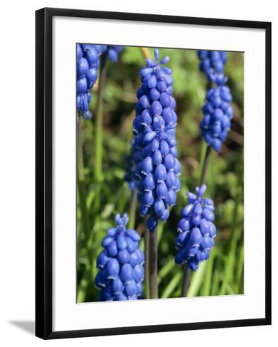 Close-Up of Grape Hyacinth Flowers, Taken in April, in Devon, England-Michael Black-Framed Art Print