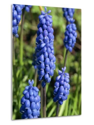 Close-Up of Grape Hyacinth Flowers, Taken in April, in Devon, England-Michael Black-Metal Print