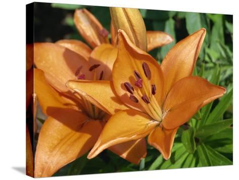 Close-Up of Orange Flowers of Lilies, Taken in June in Devon-Michael Black-Stretched Canvas Print