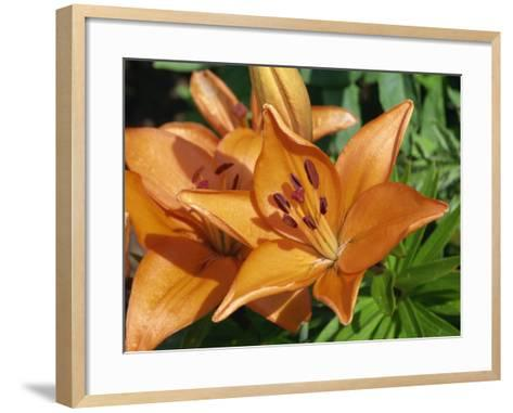 Close-Up of Orange Flowers of Lilies, Taken in June in Devon-Michael Black-Framed Art Print