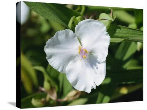 Close-Up of White Tradescantia Flower, Virginiana Osprey, in August, Devon-Michael Black-Stretched Canvas Print
