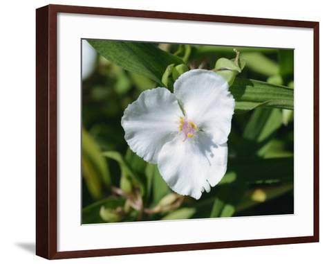 Close-Up of White Tradescantia Flower, Virginiana Osprey, in August, Devon-Michael Black-Framed Art Print