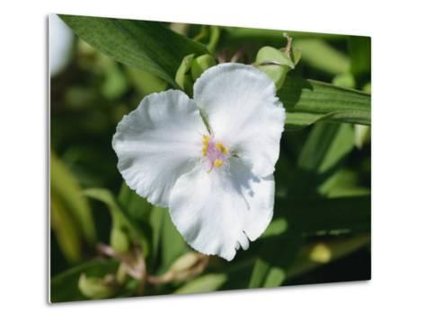 Close-Up of White Tradescantia Flower, Virginiana Osprey, in August, Devon-Michael Black-Metal Print