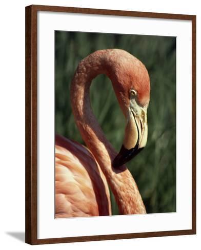 Flamingo-Steve Bavister-Framed Art Print