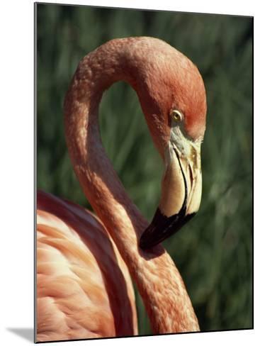 Flamingo-Steve Bavister-Mounted Photographic Print
