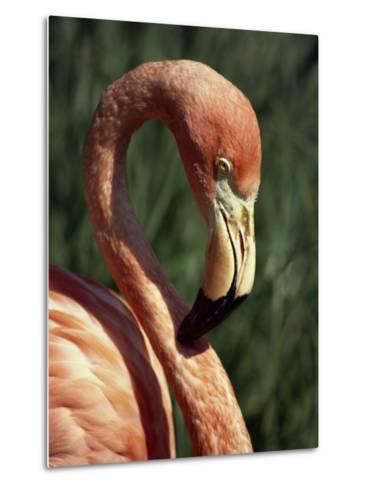 Flamingo-Steve Bavister-Metal Print