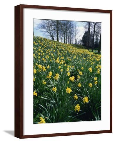 Daffodils in Spring-Jeremy Bright-Framed Art Print