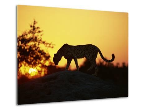 Cheetah, Okavango Delta, Botswana, Africa-Paul Allen-Metal Print