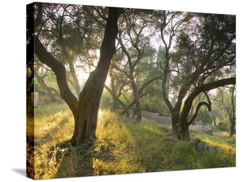 Evening Light Shining Through Olive Trees, Paxos, Ionian Islands, Greek Islands, Greece, Europe-Mark Banks-Stretched Canvas Print