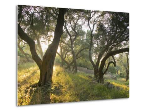 Evening Light Shining Through Olive Trees, Paxos, Ionian Islands, Greek Islands, Greece, Europe-Mark Banks-Metal Print
