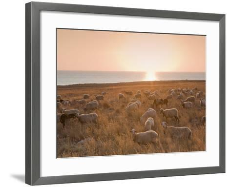 Flock of Sheep at Sunset by the Sea, Near Erice, Western Sicily, Italy, Europe-Mark Banks-Framed Art Print