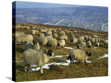 Sheep in Winter, North Yorkshire Moors, England, United Kingdom, Europe-Rob Cousins-Stretched Canvas Print