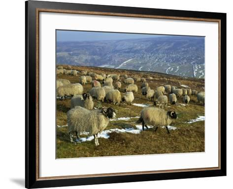 Sheep in Winter, North Yorkshire Moors, England, United Kingdom, Europe-Rob Cousins-Framed Art Print