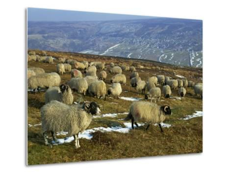 Sheep in Winter, North Yorkshire Moors, England, United Kingdom, Europe-Rob Cousins-Metal Print