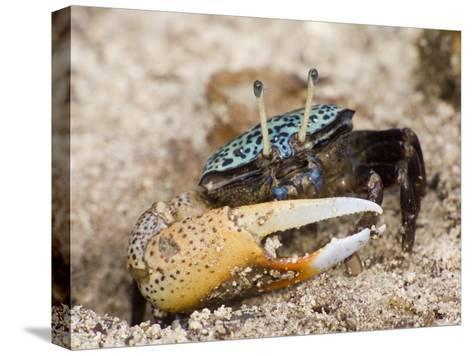 A fiddler crab among the spike-like roots of Sonneratia mangroves-Tim Laman-Stretched Canvas Print