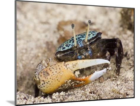 A fiddler crab among the spike-like roots of Sonneratia mangroves-Tim Laman-Mounted Photographic Print