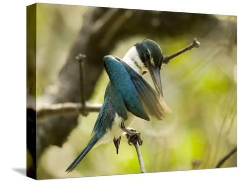 A collared kingfisher perches and preens in the mangroves-Tim Laman-Stretched Canvas Print