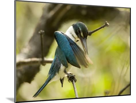 A collared kingfisher perches and preens in the mangroves-Tim Laman-Mounted Photographic Print