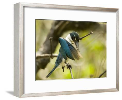 A collared kingfisher perches and preens in the mangroves-Tim Laman-Framed Art Print
