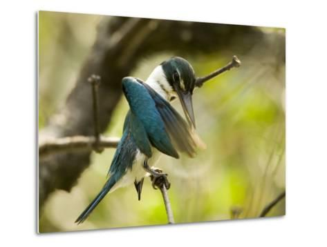 A collared kingfisher perches and preens in the mangroves-Tim Laman-Metal Print