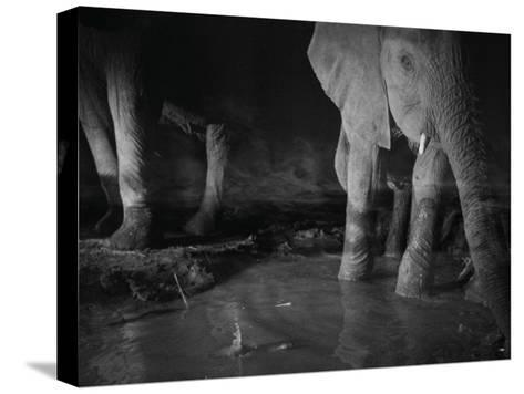 Elephants drink from a waterhole made by swimming pool overflow-Michael Nichols-Stretched Canvas Print
