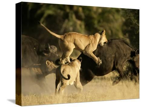 Female African lions pounce on an African buffalo-Beverly Joubert-Stretched Canvas Print