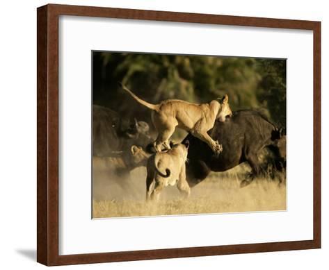 Female African lions pounce on an African buffalo-Beverly Joubert-Framed Art Print