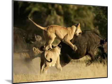 Female African lions pounce on an African buffalo-Beverly Joubert-Mounted Photographic Print