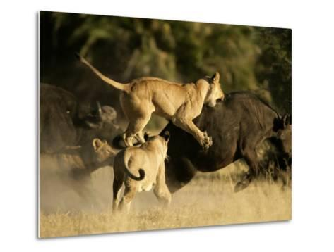 Female African lions pounce on an African buffalo-Beverly Joubert-Metal Print