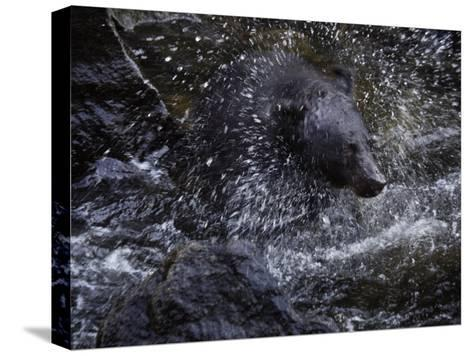 A black bear hunting for salmon in Anan Creek-Melissa Farlow-Stretched Canvas Print