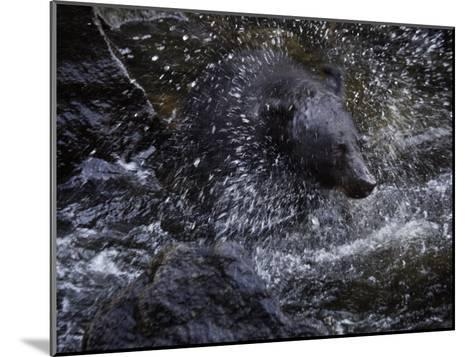 A black bear hunting for salmon in Anan Creek-Melissa Farlow-Mounted Photographic Print