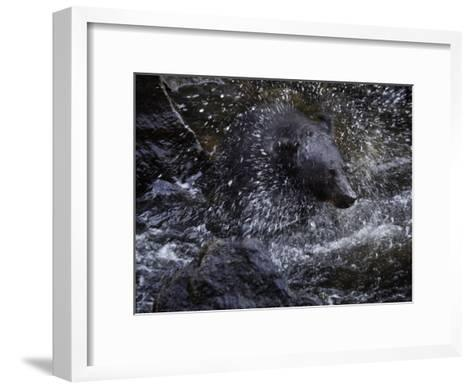 A black bear hunting for salmon in Anan Creek-Melissa Farlow-Framed Art Print