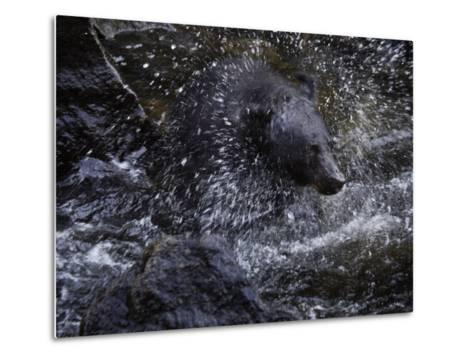 A black bear hunting for salmon in Anan Creek-Melissa Farlow-Metal Print